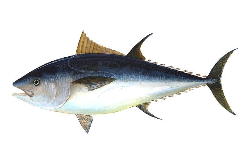 Atun: Pescado Fresco del dia.